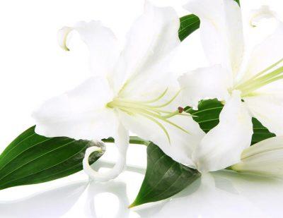 White lillies 2